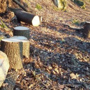Горски от Русе установиха незаконна сеч на 240 дървета край Дулово