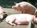 Край на свинската чума в Русе