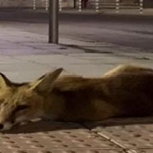 Лисици бродят нощем в Русе